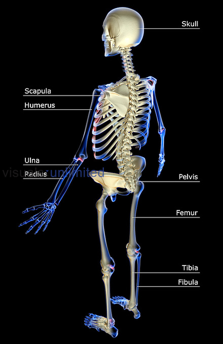 A superior posterolateral view (left side) of the skeletal system. Royalty Free