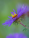 A purple aster proudly points upward in the fall display
