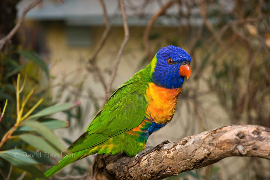 The Rainbow Lorikeet, Trichoglossus haematodus, is a species of Australasian parrot found in Australia, eastern Indonesia, Papua New Guinea, New Caledonia, Solomon Islands and Vanuatu.  Sydney, Australia.