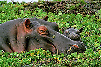 Common Hippopotamus (Hippopotamus amphibius) mother with young calf.  Masai Mara National Reserve, Kenya.