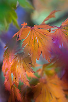 Fall color in Japanese Maple Leaf macro photography.  The Japanese Garden in Portland is a 5.5 acre respit.  Said to be one of the most authentic Japanese Garden's outside of Japan, the rolling terrain and water features symbolize both peace and strength.