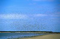 Austernfischer, Schwarm, Trupp, Haematopus ostralegus, oystercatcher