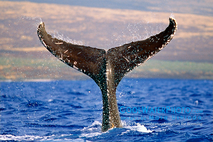 humpback whale lobtailing, .Megaptera novaeangliae, .Hawaii (Pacific).