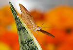 Butterfly, Dryas iulia, Julia Heliconian Amid The Blazing Colors Of Spring