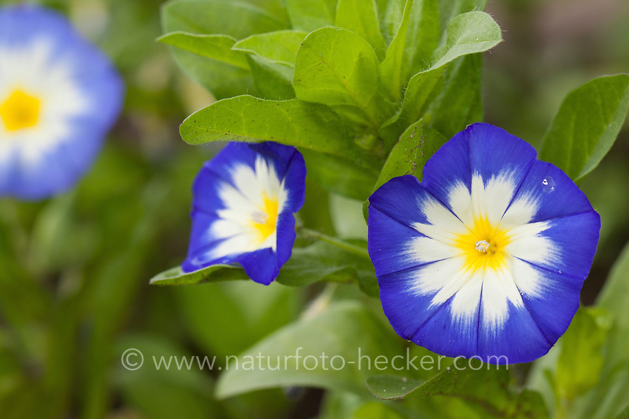 Dreifarbige Winde, Zwerg-Trichterwinde, Zwergtrichterwinde, Trichterwinde, Bunte Ackerwinde, Convolvulus tricolor, Convolvulus minor, Dwarf Morning Glory, dwarf glory bind, Dwarf convolvulus