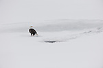 A bald eagle waits on the ice of the frozen Snake River hoping to steal fish from nearby northern river otters. Grand Teton National Park, Wyoming.