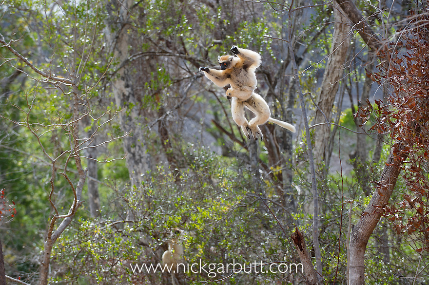 Female Golden-crowned Sifaka (Propithecus tattersalli) carrying infant and leaping through forest canopy. Forests adjacent to the village of Andranotsimaty, near Daraina, northern Madagascar. (Critically Endangered)