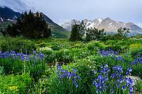 France, Hautes-Alpes (05), Villar-d'Arène, jardin alpin du Lautaret, devant, iris de Sibérie (Iris sibérica), ruisseau, zone des Pyrénées derière (avec lis et valériane des Pyrénées...), le massif de la Meije au fond