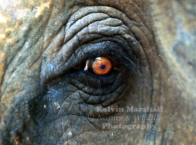 A close up of the eye of an Asian Elephant.