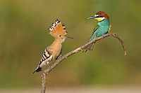 Hoopoe Upupa epops and Bee-eater Merops apiaster