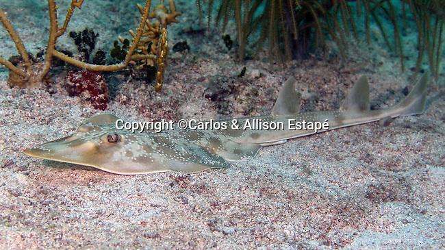 Rhinobatos lentiginosus, Atlantic guitarfish, Florida Keys