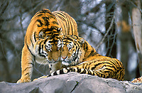 Siberian Tigers (Panthera tigris altaica), Endangered Species.