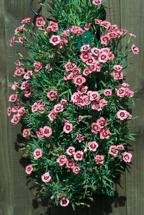 Dianthus 'Evening Star' in Flower Pouch hanging against wooden wall