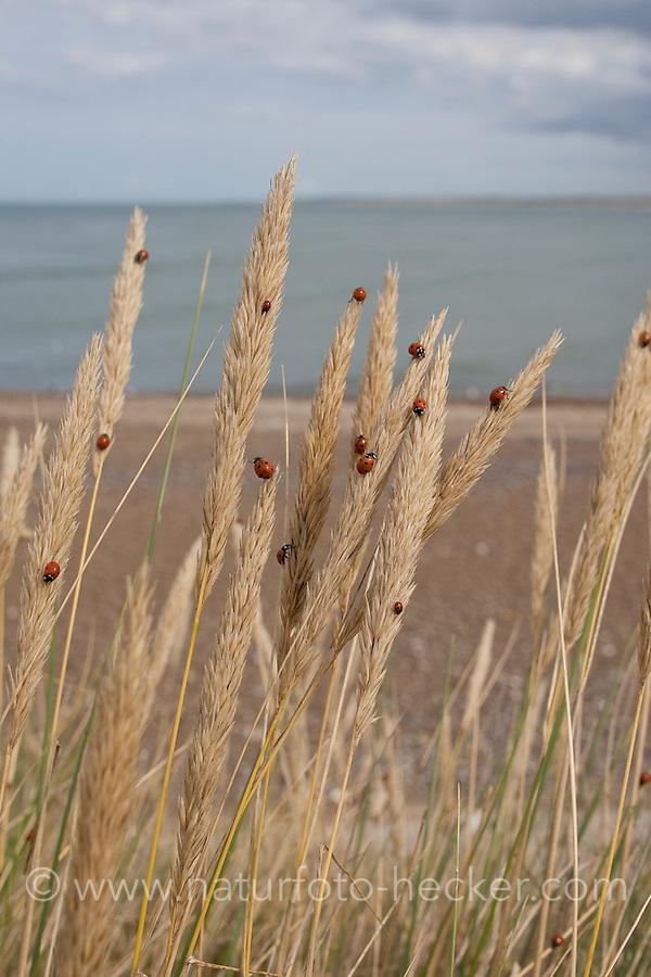 Siebenpunkt-Marienkäfer, Siebenpunkt - Marienkäfer, 7-Punkt, Massenauftreten, Invasion an der Nordseeküste, Coccinella septempunctata, seven-spot ladybird, sevenspot ladybird, 7-spot ladybird