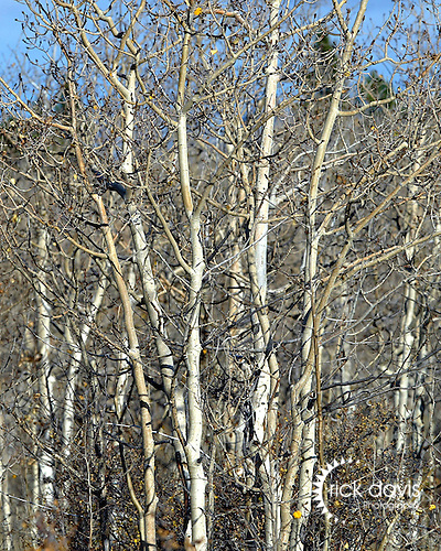 Aspen trees above Central City, stripped of their rich fall color, prepare for the upcoming winter in the Rocky Mountains.