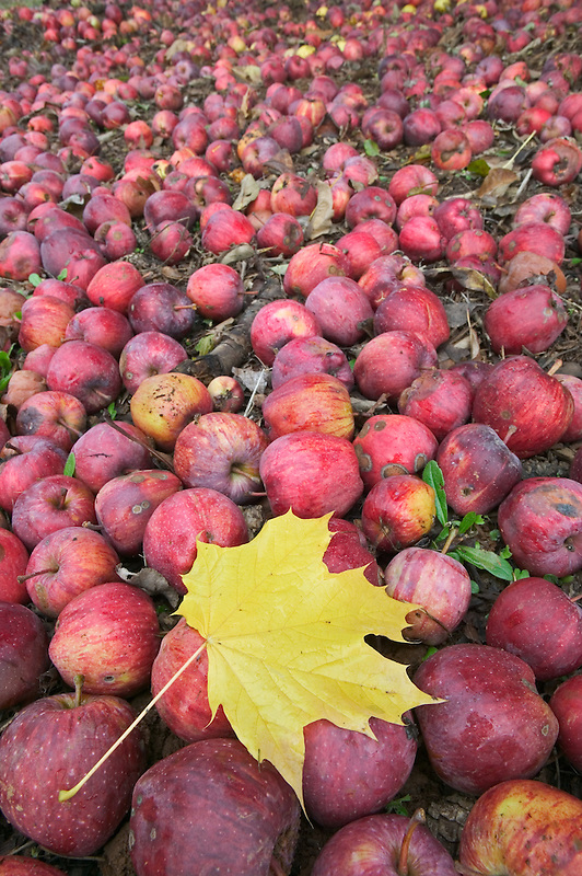 Fallen red delicious apples and maple leaf. Near Alpine, Oregon