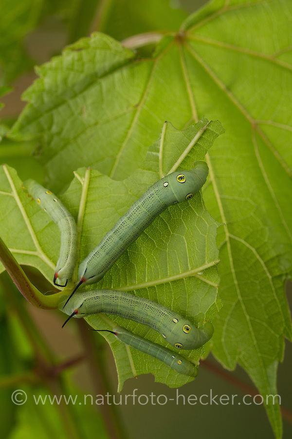 Großer Weinschwärmer, Südlicher Weinschwärmer, Raupe frisst an Wein, Weinrebe, Hippotion celerio, vine hawk-moth, silver-striped hawk-moth, Silver-striped Hawkmoth, caterpillar, Le Sphinx phoenix. Schwärmer, Sphingidae, hawkmoths, hawk moths, sphinx moths, sphinx moth, hawk-moths, hawkmoth