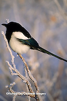 01296-002.18 Black-billed magpie (Pica pica) in hoarfrost, AK