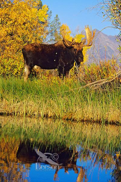 Bull Moose (Alces Alces) Western U.S.