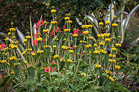 Phlomis fruticosa (Jerusalem Sage) flowering in drought tolerant no summer water garden, Judy Adler Garden, Walnut Creek, California