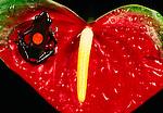 Bull's-eye morph harlequin poison arrow frog, South America