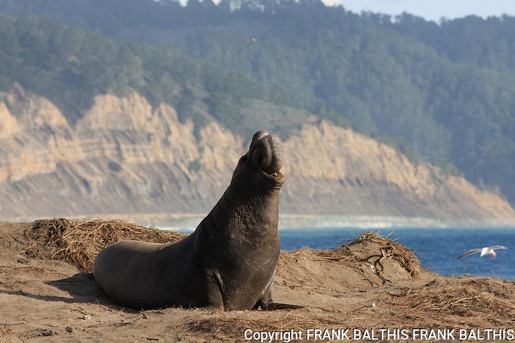 Elephant seal bull at Ano Nuevo State park