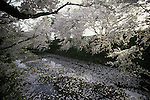 Cherry blossoms and the castles' moat provides a backdrop of many pictures at the Cherry Blossom Festival held in Oyo Park near Hirosaki Castle in Aomori Prefecture in Northern Honshu, Japan. Over 1500 cherry trees come into bloom from late April to Early May. (Jim Bryant Photo).......
