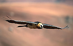Bearded vulture, Gypaetus barbatus, Giant's Castle reserve, Kwazulu Natal, South Africa