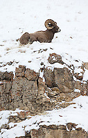 Bighorn rams often come down to lower ground during winter.
