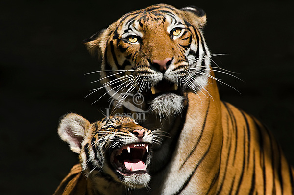 Sumatran Tiger mother and cub