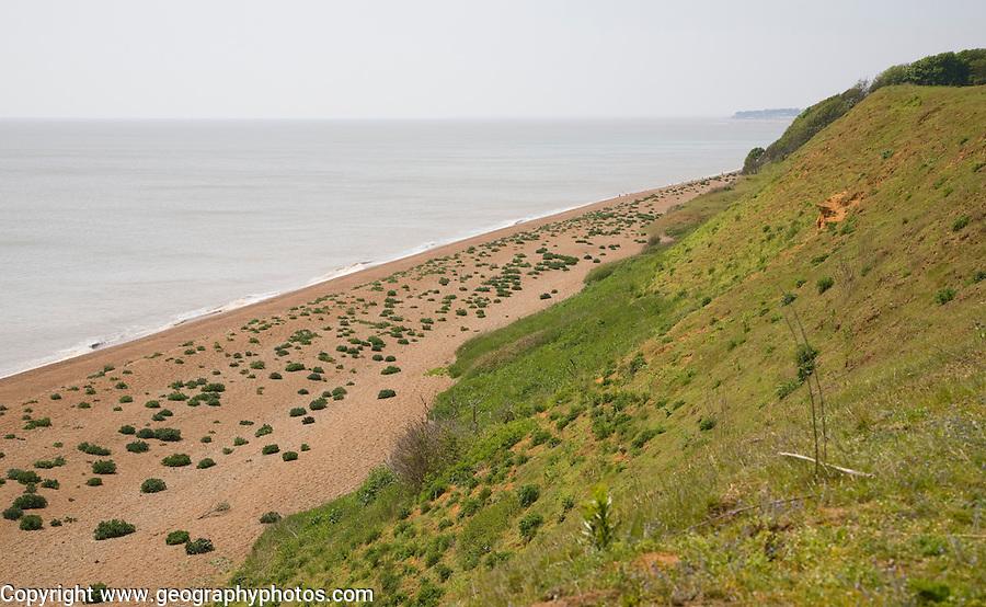 Sea kale growing on vegetated shingle beach at Bawdsey, Suffolk, England