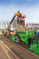 Loading potato planter with Maaris Piper seed potatoes - Lincolnshire, April