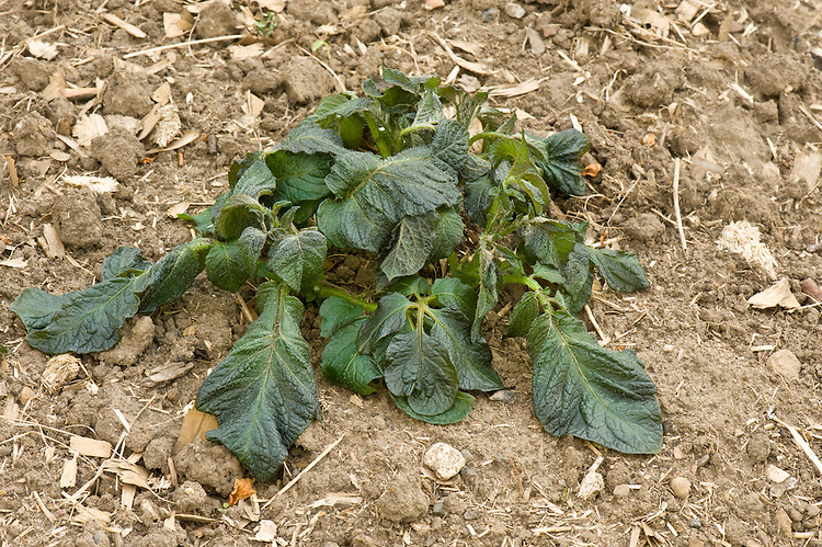 Potato plants damaged by late spring frost, mid May.