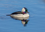 Drake bufflehead swimming in northern Wisconsin lake.
