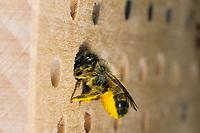 Rote Mauerbiene, Rostrote Mauerbiene, Mauerbiene, Mauer-Biene, Weibchen am Loch in einer Wildbienen-Nisthilfe, Insektenhotel, Osmia bicornis, Osmia rufa, red mason bee, mason bee, female, L'osmie rousse, Mauerbienen, mason bees