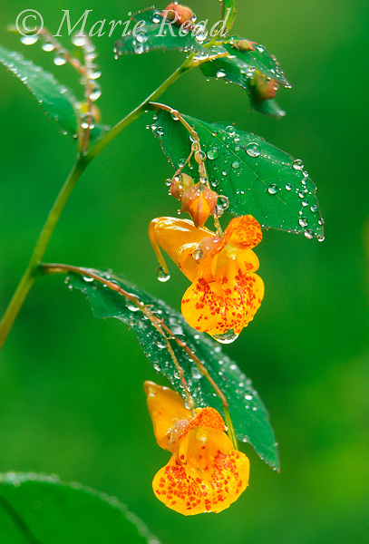 Jewelweed (=Spotted Touch-me-not) (Impatiens capensis), flowers and leaves, New York, USA. A favorite food plant of hummingbirds.<br /> Slide # P23-02
