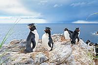 Southern Group of rockhopper penguins (Eudyptes chrysocome) on a rock, South Atlantic, East Falkland, Falkland Islands, South America