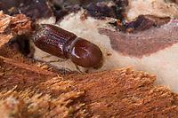 Großer Lärchenborkenkäfer, Achtzähniger Lärchenborkenkäfer, Großer Lärchen-Borkenkäfer, Grosser Lärchenborkenkäfer, Grosser Lärchen-Borkenkäfer, Borkenkäfer an Douglasie, Ips cembrae, large larch bark beetle