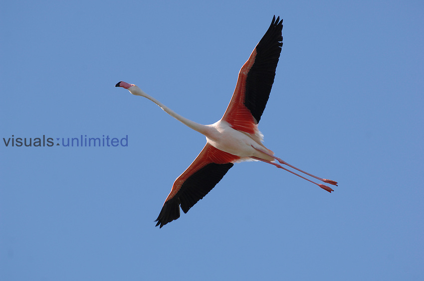 Greater Flamingo in flight (Phoenicopterus ruber), Camargue, France