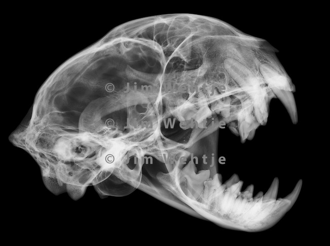X-ray image of a bobcat skull and jaw (white on black) by Jim Wehtje, specialist in x-ray art and design images.
