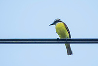 Great Kiskadee, Pitangus sulphuratus, perched on a wire in Tortuguero National Park, Costa Rica