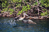 Pelican in the mangroves<br />