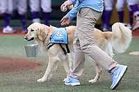 CHAPEL HILL, NC - FEBRUARY 19: University of North Carolina baseball service dog Remington delivers game balls during a game between High Point and North Carolina at Boshamer Stadium on February 19, 2020 in Chapel Hill, North Carolina.