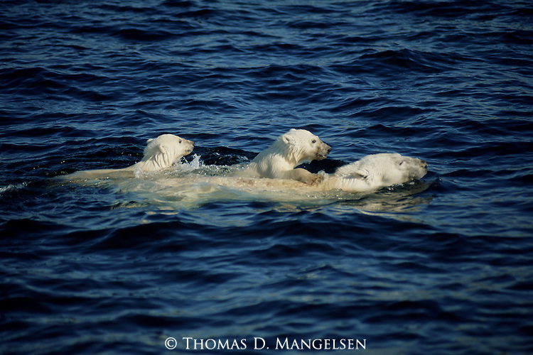 Polar bear cubs being carried on mom's back as she swims through water.