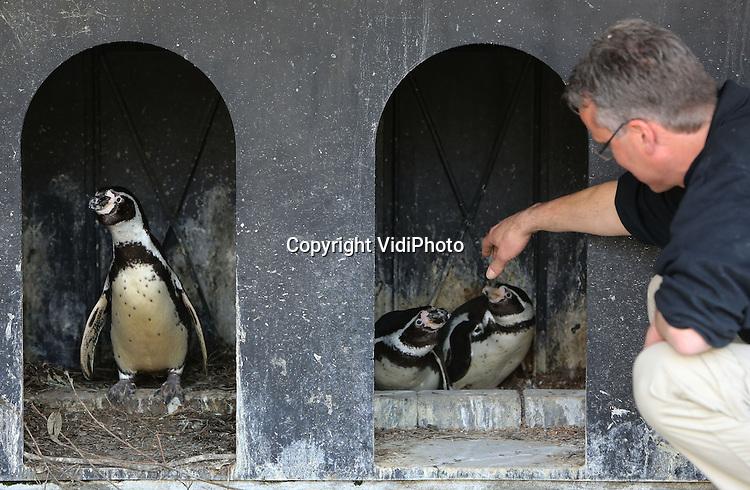 Foto: VidiPhoto<br /> <br /> RHENEN - Dierverzorger Pieter Hendriks van Ouwehands Dierenpark in Rhenen controleert dinsdag de hokken van de Zuid-Amerikaanse humbold pinguins. De dieren hebben de lente veel te vroeg in hun bol en produceren nu al eieren. Door steeds te controleren wanneer er eieren worden gelegd, weet Ouwehands ook wanneer de eerste jongen worden geboren. Broedende pinguins blijven bovendien op het nest zitten en moeten met de hand gevoerd worden om te voorkomen dat ze verhongeren.