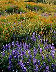 Carrizo Plain National Mounment, CA<br /> Desert field of miniture lupine, goldfields and California poppiesin morning sun