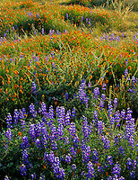 Carrizo Plain National Mounment, CA<br /> Desert field of miniture lupine, goldfields and California poppiesin morning sun