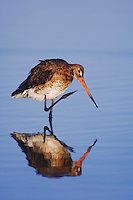 Black-tailed Godwit, Limosa limosa, adult in breeding plumage preening,National Park Lake Neusiedl, Burgenland, Austria, April 2007
