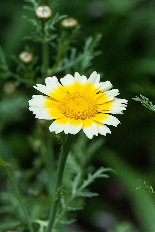 Chop suey greens (Chrysanthemum greens, Glebionis coronaria syn. Chrysanthemum coronarium) in flower. Also known as edible chrysanthemum or chrysanthemum greens. Use baby leaves  in raw salads, or steam, lightly boil or stir-fry.