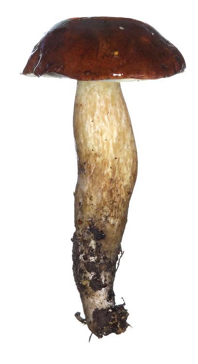 Bay Bolete - Boletus badius (aka Xerocomus badius)